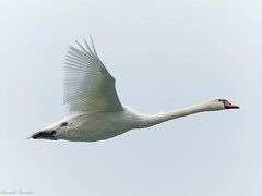 EM182226_DxO.jpg (riccardof55) Tags: uccelli birdwatching cigno lazise