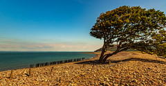 Trees grow in random places (Ian Emerson (Thanks for all the comments and faves) Tags: tree beach sea seascape water somerset england canon outdoor landscape pebbles