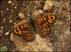 Wall Brown basking - Prestbury Hill (glostopcat) Tags: wallbrownbutterfly wall butterfly insect invertebrate summer macro august glos butterflyconservation prestburyhillnaturereserve