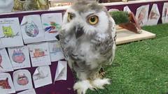 Anna,a baby snowy owl (billnbenj) Tags: barrow cumbria video owl raptor snowyowl birdofprey