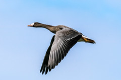 Greater White-fronted Goose (mjeedelbr) Tags: greaterwhitefrontedgoose
