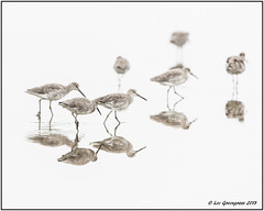 Walking The Shallows (pandatub) Tags: ebparks ebparksok bird birds willet hrs haywardregionalshoreline
