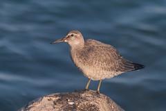 Visiting (Luis-Gaspar) Tags: animal bird passaro ave seixoeira knot redknot calidriscanutus portugal oeiras nikon d60 55300 f56 1640 iso400