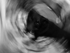 IMG_6391 (Giorgos H) Tags: dog bw blackandwhite contrast giorgos