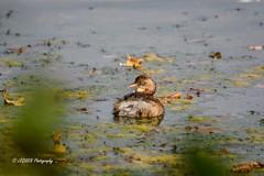 Petit bain aux algues (leguen.maxime) Tags: algues animal oiseau grèbe loiret loire 2018 rivière eau nature olivet