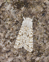 2018_08_0060 (petermit2) Tags: greychimoth greychi chimoth chi moth gravestone hathersage derbyshire