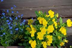 Pansies & forget-me-nots (petrOlly) Tags: europe europa slovensko slowakei slovakia słowacja sk2018 mýtopodďumbierom nature natura przyroda flower flowers garden inthegarden