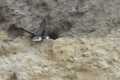 Bank Swallow chick receiving food from an adult. (Alan Vernon.) Tags: bank canoneos1dxmkii copyrightalanvernon2018 babies bird chicks feeding nest passerine perching swallow riparia food insects meal nestling chick passeriformes avian nature wild wildlife birding birdwatching cliff sand