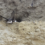 Bank Swallow chick receiving food from an adult. thumbnail
