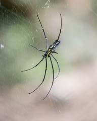 Giant Wild Spider (Rohit Tulsiyan) Tags: wild animal spider giant dangerous insect venomous