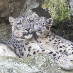 Snow Leopard Mom and Kitten thumbnail