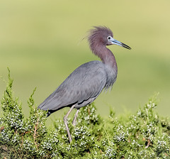 Little Blue Heron posing (tresed47) Tags: 2018 201807jul 20180709njoceancitybirds birds canon7dmkii content folder heron july littleblueheron newjersey oceancity peterscamera petersphotos places season summer takenby us