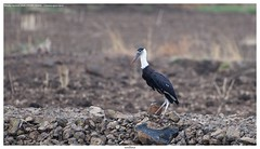 Woolly-necked stork or whitenecked stork (श्वेतकंठ महाबक) - Ciconia episcopus (jhureley1977) Tags: woollyneckedstork whiteneckedstork श्वेतकंठमहाबक ciconiaepiscopus birds birding indiabirding2018 indiabirds birdsofindia ashjhureley avibase naturesvoice bbcspringwatch rspbbirders orientbirdclub ashutoshjhureley rspb jabalpur jabalpurbirds