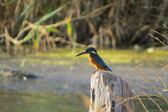 Common kingfisher (Alcedo atthis) (Vitaly Giragosov) Tags: commonkingfisher alcedoatthis bird blacksea sevastopol crimea rf севастополь крым зимородокобыкновенный птицы чёрноеморе