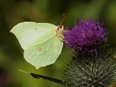 2018_07_0157 (petermit2) Tags: brimstonebutterfly brimstone butterfly oldmoor dearnevalley dearne rotherham barnsley southyorkshire rspb