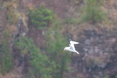Red-tailed Tropicbird in the rain (xythian) Tags: hi kauai kilaueapoint