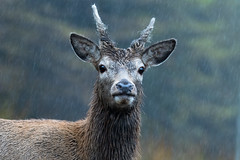 Scottish Red Deer (UK Shaolin Temple) Tags: scottishreddeer scottish reddeer wildanimals wildlifephotographer wildlife photographer landscape scottishmountains mountains water rivers lakes hills scottishhighlands highlands scottishscenery scenery horselaughing newforesthorses newforestpony