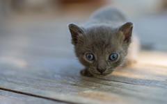 kittens II (04) (Vlado Ferenčić) Tags: animals animalplanet catsdogs vladoferencic cats vladimirferencic kitty kittens zagorje croatia hrvatska hrvatskozagorje nikond600 tamron9028 closeup