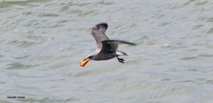 Gull J78A0875 (M0JRA) Tags: gulls birds flight flying wildlife rats walks gardens parks fields trees lakes ponds ducks swans rspb