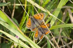lycaena phlaeas 2015-3 (lindnys) Tags: birkelunden han hun lilleildfugl phlaeas smallcopper lycaenaphlaeas