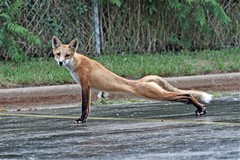 Long and Lean (marylee.agnew) Tags: red fox vulpes stretch long lean summer coat nature wildlife canine