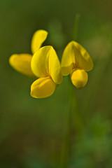 Bird's-foot trefoil (pstenzel71) Tags: blumen natur pflanzen birdsfoottrefoil lotus hornklee flower darktable bokeh