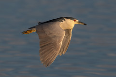 Night Flight (PeterBrannon) Tags: bird blackcrownednightheron flight florida nature nycticoraxnycticorax sunset tampa wildlife