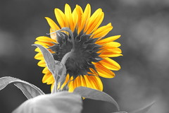Sunflower (Von Noorden) Tags: noiretblanc einfarbig white blackandwhite bw sw schwarzweiss relaxing selective colouring colours color selektiv hot summer germany farbe bunt sonnenblume sunflower sun sonne gelb yellow golden insects plant blossom leaves colour rose roses red flower flowers blüte bloom efflorescence rosa nature blume deutschland autumn herbst green helianthus florets monochrome monotone monocrome colourful colorful paint grey emotions spring rain animals makro macro