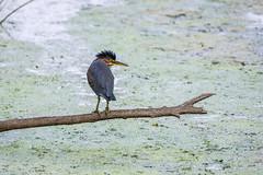 En colère contre le castor qui l'a dérangé! (anniebevilacqua) Tags: oiseau bird oiseaudeau waterbird héronvert greenheron butoridesvirescens faunemontréal montrealwildlife parcnaturepointeauxprairies marais swamp