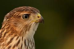 Juvenile Cooper's Hawk (Guy Lichter Photography - 4M views Thank you) Tags: canon 5d3 canada manitoba winnipeg wildlife animal animals bird birds hawk coopershawk juvenile