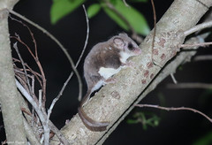 Broad-toed Feather-tailed Glider (Acrobates frontalis) (Heleioporus) Tags: broadtoed feathertailed glider acrobates frontalis northwest sydney new south wales
