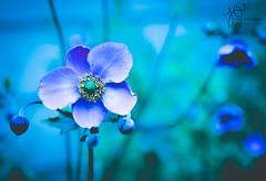 Why so Blue? (Jackie O. Photography) Tags: blue flower purple colorful nature outdoors flowers green aqua neon bright moody petals macro bokeh jackieophotography explore ohio kirtland summer august 2018 lake county