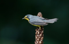 Canada Warbler. (mandokid1) Tags: canon 1dx ef600mm11 birds warblers