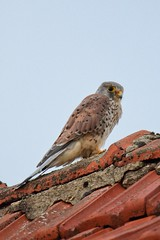 Turmfalkenmännchen auf Nachbars Dach / Kestrel male on neighbor's roof (reipa59) Tags: falke turmfalke male countryside vogel germany kestrel dorf dach nature rhinelandpalatinate tiere nordpfalz vögel northpalatinate portrait ransweiler animal bird natur rheinlandpfalz rooftop viewpoint wild dachziegel roof pfalz palatinate raubvogel greifvögel greifvogel tier village birds aussichtspunkt raptor birdofprey smallvillage