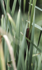 Hidden (Wouter de Bruijn) Tags: fujifilm xt2 fujinonxf90mmf2rlmwr broadleafcattail bulrush commonbulrush commoncattail catoninetails greatreedmace coopersreed cumbungi reed reeds leaf leaves green autumn autumnal summer nature bokeh depthoffield outdoor westhove mantelingen oostkapelle veere walcheren zeeland nederland netherlands holland dutch