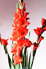 DSC_1501 Gladioli (PeaTJay) Tags: nikond750 sigma reading lowerearley berkshire macro micro closeups gardens indoors nature flora fauna plants flowers gladioli