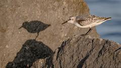 Sanderling (Calidris alba) (ER Post) Tags: bird shorebird sanderlingcalidrisalba holland michigan unitedstates us