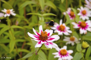Abejorro - Bumblebee