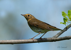 Stopping By (CR Courson) Tags: catharusustulatus swainsonsthrush thrushes turdidae zorzaldeswainson griveàdosolive birds birdphotography bird migration nikon naturephotography nature crcourson chuckcourson