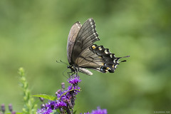 Butterfly 2018-78 (michaelramsdell1967) Tags: butterfly butterflies nature macro animal animals insect insects beauty beautiful pretty lovely upclose closeup bokeh black swallowtail green flower wildlife meadow detail delicate bugs bug wings field vivid vibrant zen