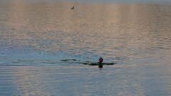 Iltauinti (Antti Tassberg) Tags: reflection minimalistic kesä uimari espoo pitkäjärvi suomi järvi finland lake scandinavia swimmer uusimaa fi