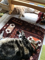 Enjoying the Day (sjrankin) Tags: 9september2018 edited kitahiroshima hokkaido japan animal cat norio tigger floor livingroom