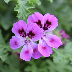Pretty Pink Pair (MJ Harbey) Tags: flower garden geranium kewgardens london royalbotanicgardenskew unescoworldheritagesite plantae geraniaceae nikon d3300 nikond3300