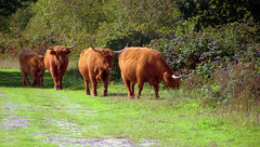 Oncoming traffic (Scottish Highlanders) @ Huis ter Heide  - Netherlands (janvandijk01) Tags: huis heide cows koeien cow koe brabant tilburg moer loon op zand netherlands nederland scottish highlander schotse hooglander