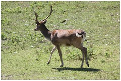Daim (fauneetnature) Tags: daim fallowdeer animal animalier mammifère deer nature naturephotography faune