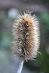 Teasel (the.haggishunter) Tags: wild teasel dried dead seedhead