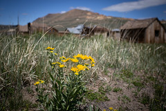 Ghost Town Bloom (CameraOne) Tags: ghosttown bodie historicalpark nationalpark california raw flowers bokeh wideangle owensvalley bodieghosttown cameraone canon6d canon1740mm southwest