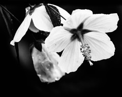 Wild Flower (_Lionel_08) Tags: flower black white wild wildlife wet nature natural monochrome macro louisiana leaf leaves canon contrast