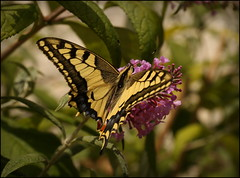 Swallowtail butterfly (catb -) Tags: france rocamadour butterfly swallowtail papiliomachaon insect macro dordogne