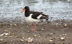 Oystercatcher (marksargeant57) Tags: cockleshells mudflat shoreline wader wadingbird bird rspb freistonshore rspbfreistonshore oystercatcher
